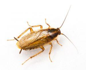 German-cockroach-300x243