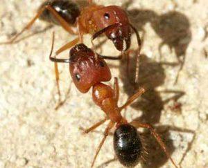 florida_carpenter_ants