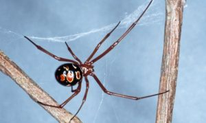 Red Widow Spider