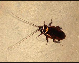 Australian Roach